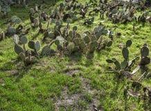 Διακόσμηση με τις εγκαταστάσεις Ντεκόρ εγκαταστάσεων διακοσμητικά φυτά Αγρόκτημα και κήπος κάκτων στο φύλλο κάκτων του Μπακού Κάκ Στοκ φωτογραφία με δικαίωμα ελεύθερης χρήσης