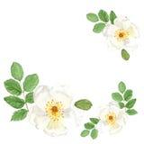 Διακόσμηση με το βοτανικό σκίτσο απεικόνισης watercolor του άσπρου dogrose στο άσπρο υπόβαθρο ελεύθερη απεικόνιση δικαιώματος