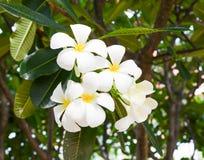 Διακόσμηση λουλουδιών Plumeria Στοκ εικόνα με δικαίωμα ελεύθερης χρήσης