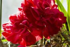 Διαμορφωμένα λουλούδια πελαργονίων πεταλούδων πέταλο που ανθίζουν στην άνθιση θερινών λουλουδιών άνοιξης κήπων στοκ φωτογραφία με δικαίωμα ελεύθερης χρήσης