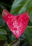 Διαμορφωμένες καρδιά Anthurium εγκαταστάσεις Στοκ Εικόνες