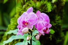 Διαμορφωμένες σκώρος ορχιδέες Phalaenopsis Ρόδινα ριγωτά πέταλα  φτέρες και πράσινα φύλλα στο υπόβαθρο hilo της Χαβάης στοκ εικόνα