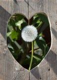 Διαμορφωμένη καρδιά τρύπα στο φράκτη με το κεφάλι πικραλίδων Στοκ Εικόνα