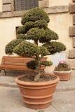 Διαμορφωμένο δέντρο μπονσάι μπονσάι δέντρο που κόβεται για τη διακόσμηση Στοκ Εικόνες