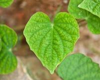 Διαμορφωμένο καρδιά φύλλο Στοκ εικόνες με δικαίωμα ελεύθερης χρήσης