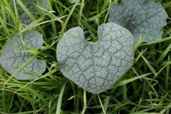 Διαμορφωμένο καρδιά υπόβαθρο φύλλων Στοκ εικόνες με δικαίωμα ελεύθερης χρήσης