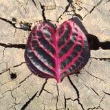 Διαμορφωμένο καρδιά φύλλο στο ραγισμένο κολόβωμα Στοκ Εικόνα