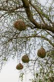 Διαμορφώστε τις αφρικανικές φωλιές πουλιών υφαντών που κρεμούν από το ακανθώδες δέντρο στη Σενεγάλη, Αφρική στοκ εικόνες