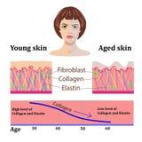 Διανυσματικά πρόσωπα και δύο τύποι δερμάτων - ηλικίας και νέων για τις ιατρικές και cosmetological απεικονίσεις που απομονώνονται διανυσματική απεικόνιση