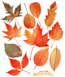 Διανυσματικά φύλλα φθινοπώρου watercolor Στοκ Εικόνες