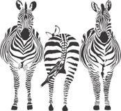 διανυσματικά zebras απεικόνισ& Στοκ Εικόνες