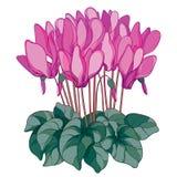 Διανυσματική ανθοδέσμη με την περίληψη Cyclamen ή αλπικό ιώδες λουλούδι στο ροζ, τον οφθαλμό και το πράσινο φύλλωμα που απομονώνο Στοκ Εικόνες