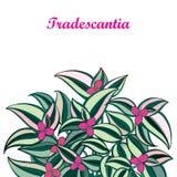 Διανυσματική ανθοδέσμη με την περίληψη Tradescantia ή τις εγκαταστάσεις ίντσας ή το λουλούδι περιπλάνησης Εβραίος Ρόδινο λουλούδι διανυσματική απεικόνιση