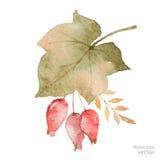 Διανυσματική ανθοδέσμη φθινοπώρου Watercolor των φύλλων, των κλάδων και dogrose των μούρων που απομονώνονται στο άσπρο υπόβαθρο Στοκ Φωτογραφίες