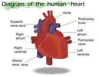Διανυσματική ανθρώπινη ανατομία καρδιών Στοκ Εικόνες