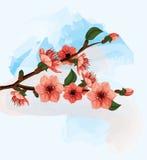 Διανυσματική απεικόνιση λουλουδιών κερασιών Στοκ Εικόνα