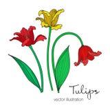 Διανυσματική απεικόνιση των ζωηρόχρωμων λουλουδιών τουλιπών Στοκ Εικόνες