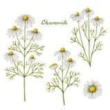 Διανυσματική απεικόνιση Watercolor chamomile Στοκ φωτογραφία με δικαίωμα ελεύθερης χρήσης