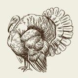 Διανυσματική εικόνα μιας Τουρκίας Εσωτερικό πουλί ελεύθερη απεικόνιση δικαιώματος