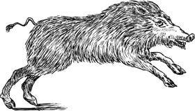Άγριος κάπρος Στοκ Εικόνα