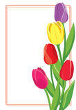 Διανυσματική κάρτα με τις χρωματισμένες τουλίπες Στοκ Εικόνες