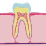 Διανυσματική δομή του ανθρώπινου δοντιού ανατομία στο άσπρο υπόβαθρο Στοκ φωτογραφία με δικαίωμα ελεύθερης χρήσης