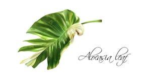 Διανυσματική ρεαλιστική εικόνα του τροπικού φύλλου alocasia στοκ εικόνες