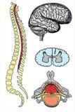 Διανυσματικοί ανθρώπινοι εγκέφαλος και σπονδυλική στήλη Στοκ Φωτογραφία