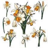 Διανυσματικοί floral νάρκισσοι μορίων απεικόνισης απεικόνιση αποθεμάτων
