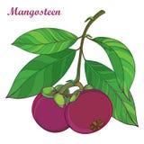 Διανυσματικός κλάδος με τα πορφυρά Mangosteen περιλήψεων ή mangosteen Garcinia φρούτα και φύλλο που απομονώνεται στο άσπρο υπόβαθ Στοκ Εικόνα