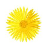 Διανυσματικό κίτρινο λουλούδι μαργαριτών που απομονώνεται στο άσπρο υπόβαθρο Ελατήριο-κίτρινο chamomile Στοκ Εικόνα