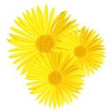 Διανυσματικό κίτρινο λουλούδι μαργαριτών που απομονώνεται στο άσπρο υπόβαθρο Ελατήριο-κίτρινο chamomile Στοκ εικόνες με δικαίωμα ελεύθερης χρήσης