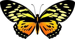 Διανυσματικό πίσω και πορτοκαλί zagreus Papilio πεταλούδων ελεύθερη απεικόνιση δικαιώματος