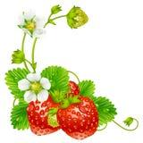 Διανυσματικό πλαίσιο φραουλών που απομονώνεται στην ανασκόπηση Στοκ Φωτογραφία