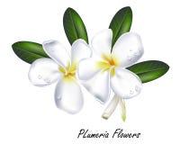 Διανυσματικό πραγματικό ύφος απεικόνισης Plumeria λουλουδιών Στοκ Φωτογραφία