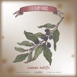 Διανυσματικό σκίτσο χρώματος δαφνών κόλπων aka nobilis Laurus Μαγειρική συλλογή χορταριών απεικόνιση αποθεμάτων