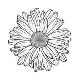 Διανυσματικό σκίτσο camomile του λουλουδιού μαργαριτών στοκ φωτογραφία
