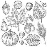 Διανυσματικό συρμένο χέρι σύνολο φθινοπώρου φύλλου, καρύδι, κολοκύθα, σίτος, γαρίφαλα, φουντούκι, ξύλο καρυδιάς, βελανίδι Χαραγμέ ελεύθερη απεικόνιση δικαιώματος