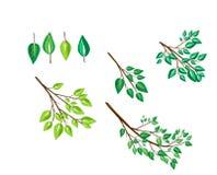 Διανυσματικό σύνολο κλαδίσκων και φύλλων των δέντρων Στοκ Εικόνα