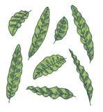 Διανυσματικό σύνολο συλλογής εξωτικών σχεδίων φύλλων φυτού κροταλιών Calathea Lancifolia διανυσματική απεικόνιση