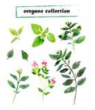 Διανυσματικό σύνολο oregano watercolor Στοκ εικόνες με δικαίωμα ελεύθερης χρήσης