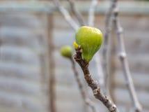 Διαρκέστε των σύκων σε ένα γυμνό δέντρο σύκων Στοκ εικόνες με δικαίωμα ελεύθερης χρήσης