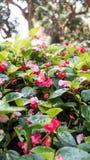 Διαρκείς Begonia εγκαταστάσεις σε ένα πάρκο Στοκ Φωτογραφία