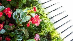 Διαρκείς Begonia εγκαταστάσεις σε ένα πάρκο Στοκ Εικόνες
