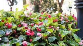 Διαρκείς Begonia εγκαταστάσεις σε ένα πάρκο Στοκ εικόνα με δικαίωμα ελεύθερης χρήσης