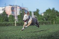Διασκέδαση σκυλιών που τρέχει κατά μήκος της χλόης Στοκ Εικόνα
