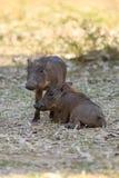 Διασκεδάζοντας χοίροι ενός warthog Στοκ Φωτογραφίες