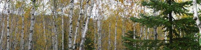 Διασπασμένα δέντρα σημύδων φάρων βράχου Στοκ εικόνες με δικαίωμα ελεύθερης χρήσης