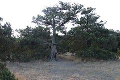 Διασπασμένο παλαιό πεύκο στο ξηρό χώμα χωρίς χλόη Στοκ φωτογραφία με δικαίωμα ελεύθερης χρήσης