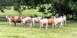 Διασταυρωμένες αγελάδες σε ένα νότιο λιβάδι Στοκ Εικόνες